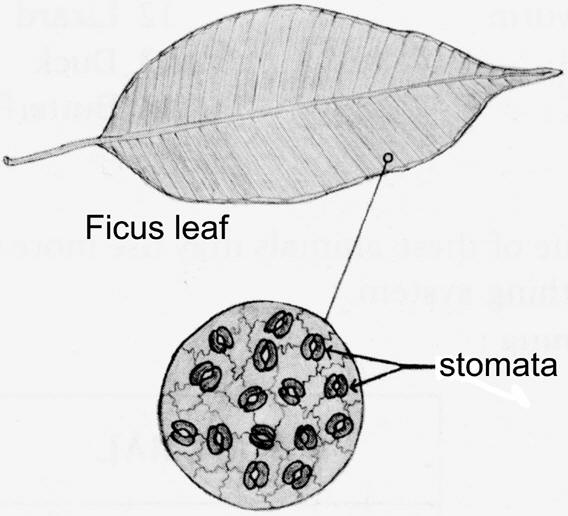 Drawing of Ficus leaf with stomata magnified © Shirley Burchill